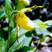 """El """"Zapatito de Dama"""" (Cypripedium calceolus)"""