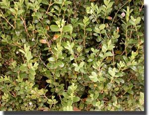 El boj: arbusto para artesanía