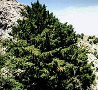 El Tejo: un árbol mítico