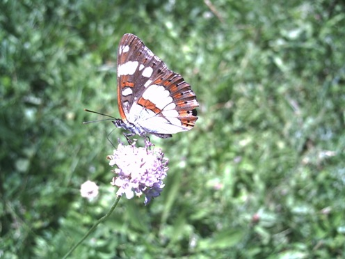 Mariposas en Ordesa