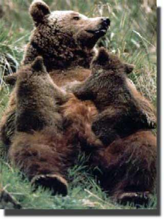Jornadas sobre el oso pardo y la ganadería en Jaca, Boltaña y Benasque