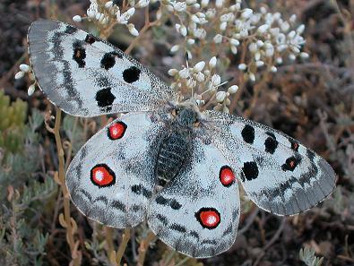 """Ordesa propone que los visitantes colaboren con el estudio de la mariposa """"Apolo"""""""