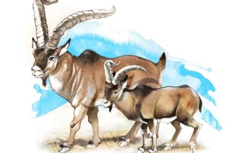 Bucardos gigantes vivieron al sur de los Pirineos tras la Edad de Hielo